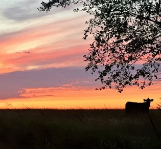 Gail Wonser — Even Cows Appreciate A Beautiful Sunset