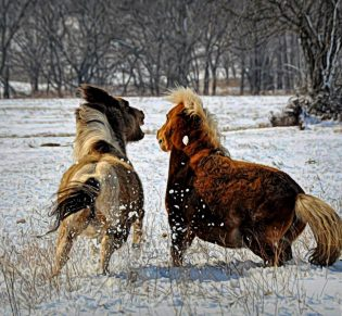 Judy Moore — Our Two Miniature Horses Having A Little Disagreement
